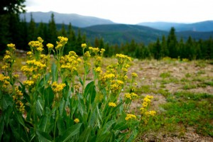 yellow-weeds-in-mountains